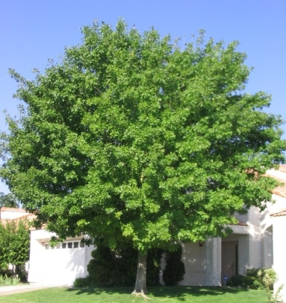 Green Ash Shade Tree