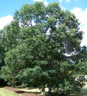 White Swamp Oak